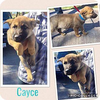 German Shepherd Dog Mix Puppy for adoption in Mesa, Arizona - CAYCE
