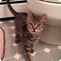 Adopt A Pet :: Nicodemus - River Edge, NJ