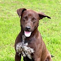 Labrador Retriever Mix Dog for adoption in Hagerstown, Maryland - DIAMOND JIM