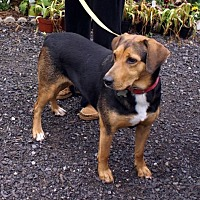 Adopt A Pet :: Hailey - Union, WV