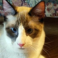 Snowshoe Cat for adoption in Spring, Texas - Onion