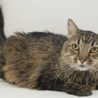 Domestic Longhair/Domestic Shorthair Mix Cat for adoption in Lakeside, Arizona - Tootie