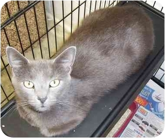 Domestic Shorthair Cat for adoption in Somerset, Pennsylvania - Heather