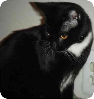Domestic Mediumhair Cat for adoption in Kensington, Maryland - Farrah