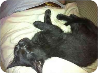 Domestic Mediumhair Kitten for adoption in Manchester, Connecticut - Kitten #6