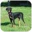 Photo 3 - Doberman Pinscher Puppy for adoption in Austin, Minnesota - Pandora