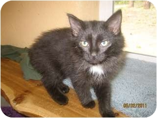 Domestic Longhair Kitten for adoption in Libby, Montana - Dash