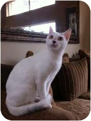 Domestic Shorthair Cat for adoption in Fort Lauderdale, Florida - Isabella