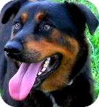 Belgian Shepherd/Shepherd (Unknown Type) Mix Dog for adoption in Pawling, New York - ZADA(a families best friend!!)