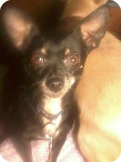 Chihuahua Mix Dog for adoption in stanwood, Michigan - PRINCESS*Foster