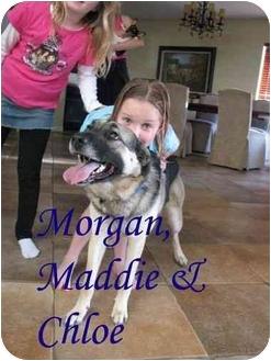 German Shepherd Dog/Labrador Retriever Mix Puppy for adoption in Vista, California - Chloe