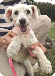 Poodle (Miniature) Mix Dog for adoption in Schertz, Texas - Ragamuffin