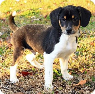 Australian Shepherd/Beagle Mix Puppy for adoption in Allentown, Pennsylvania - Baldwin