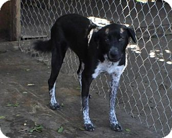 Dalmatian/Labrador Retriever Mix Dog for adoption in Miami, Florida - Oreo