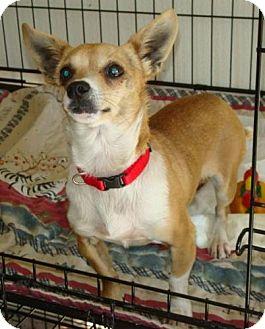 Chihuahua Mix Dog for adoption in Red Bluff, California - Tamborine