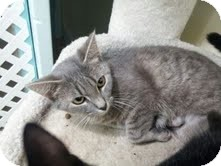 Domestic Shorthair Cat for adoption in Maryville, Tennessee - Willow