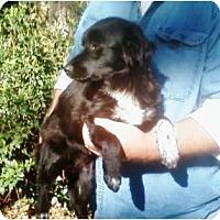 Adopt A Pet :: Bella - Duluth, GA