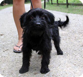 Scottie, Scottish Terrier Mix Dog for adoption in Stamford, Connecticut - Dahlia