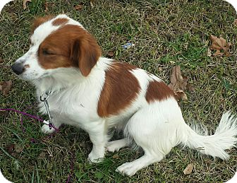 Brittany Mix Dog for adoption in Lima, Pennsylvania - Jillian