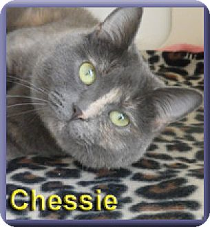 Domestic Shorthair Cat for adoption in Aldie, Virginia - Chessie