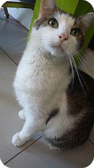 Domestic Shorthair Cat for adoption in Philadelphia, Pennsylvania - Marley
