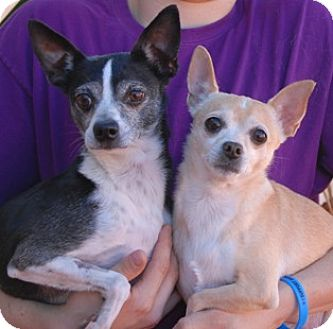 Chihuahua/Rat Terrier Mix Dog for adoption in Las Vegas, Nevada - Rocky