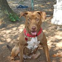 Pit Bull Terrier/Labrador Retriever Mix Dog for adoption in Loganville, Georgia - FERGIE