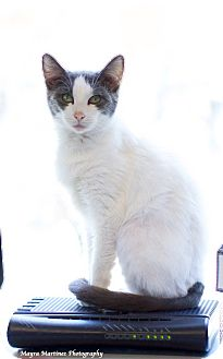 Domestic Shorthair Cat for adoption in Chattanooga, Tennessee - Bumper