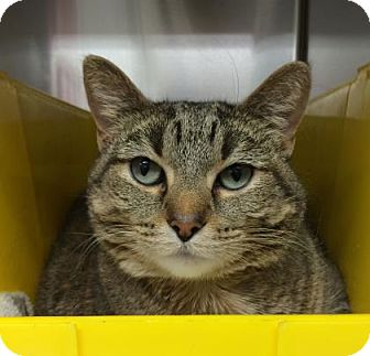 Domestic Shorthair Cat for adoption in Cleveland, Ohio - Heather