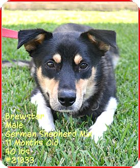 German Shepherd Dog Mix Dog for adoption in Beaumont, Texas - Brewster