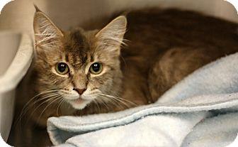 Domestic Mediumhair Cat for adoption in Bryan, Ohio - Blondie