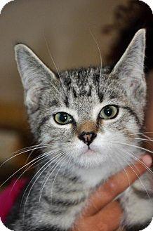 Domestic Shorthair Kitten for adoption in Danbury, Connecticut - Fig