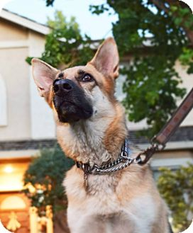 German Shepherd Dog Dog for adoption in Alameda, California - Savvy
