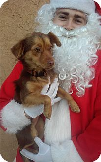 Spaniel (Unknown Type) Mix Dog for adoption in Santee, California - Penny