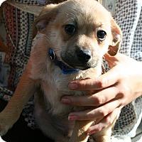 Adopt A Pet :: Apollo - Arden, NC