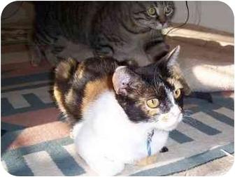 Domestic Shorthair Cat for adoption in Scottsdale, Arizona - Cheetah