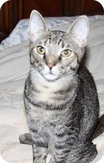 Domestic Shorthair Cat for adoption in Saint Augustine, Florida - Squirrel