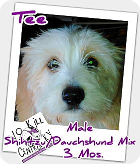 Shih Tzu/Dachshund Mix Puppy for adoption in Lancaster, Kentucky - TEE