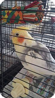 Cockatiel for adoption in Punta Gorda, Florida - Pretty Boy