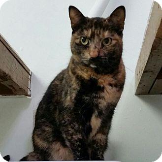 Domestic Shorthair Cat for adoption in Diamond Springs, California - Susan