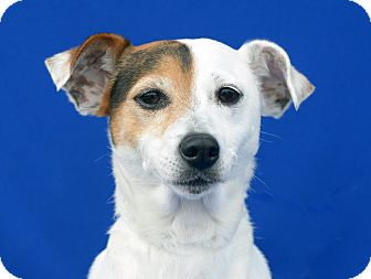 Jack Russell Terrier Mix Dog for adoption in LAFAYETTE, Louisiana - MISSY