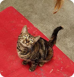 Domestic Shorthair Kitten for adoption in Lansing, Kansas - Curry