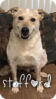 Australian Cattle Dog Mix Dog for adoption in Garden City, Michigan - Stafford