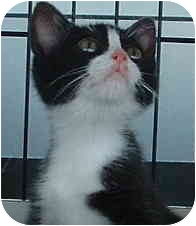 Domestic Shorthair Kitten for adoption in Hempstead, Texas - ADOPTED!! -Barry