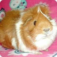 Adopt A Pet :: Nala - Highland, IN