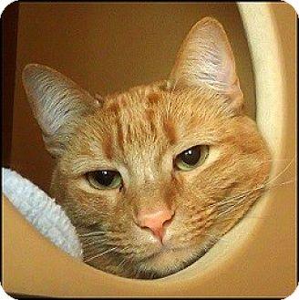Domestic Shorthair Cat for adoption in Colorado Springs, Colorado - Packard