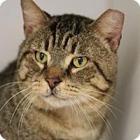 Adopt A Pet :: Tiger - Reisterstown, MD