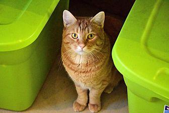 American Shorthair Cat for adoption in Palo Cedro, California - Garfield