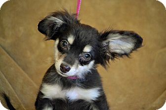 Dachshund/Chihuahua Mix Puppy for adoption in Bedminster, New Jersey - Gunny