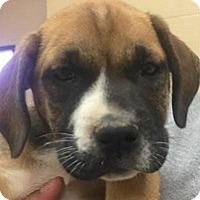 Adopt A Pet :: Bryanna - Springdale, AR